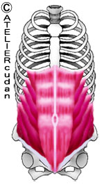 Abdominis muscle